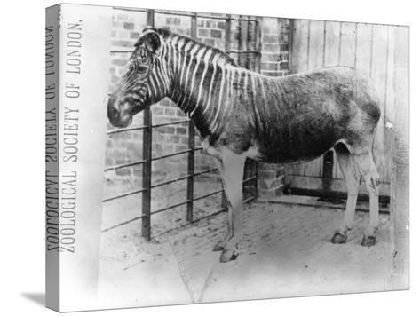 Quagga at Zsl London Zoo, Probably Summer 1870-Frederick York-Stretched Canvas Print