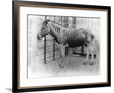 Quagga at Zsl London Zoo, Probably Summer 1870-Frederick York-Framed Art Print