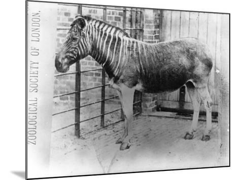 Quagga at Zsl London Zoo, Probably Summer 1870-Frederick York-Mounted Photographic Print