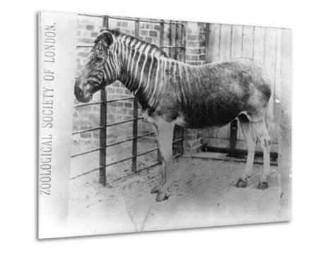 Quagga at Zsl London Zoo, Probably Summer 1870-Frederick York-Metal Print