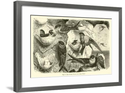 The Edible Swifts and their Nests--Framed Art Print