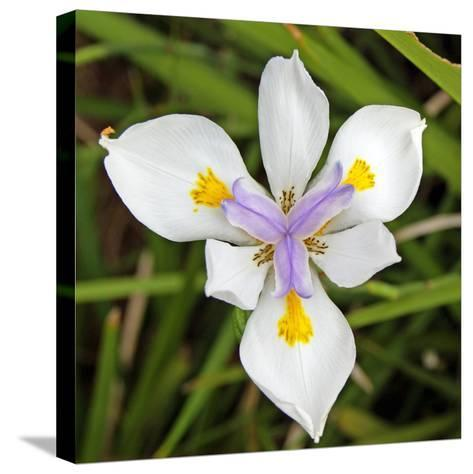 Close-Up of an Iris--Stretched Canvas Print