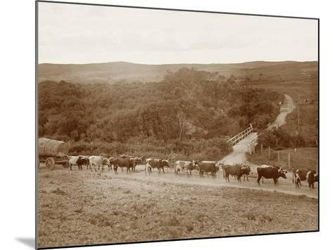Bullock Team with a Log--Mounted Photographic Print