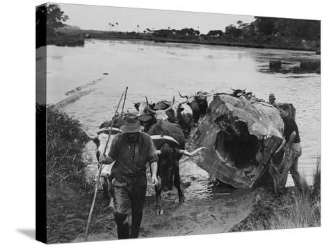 Bullock Team Hauling a Kauri Log Out of a River--Stretched Canvas Print