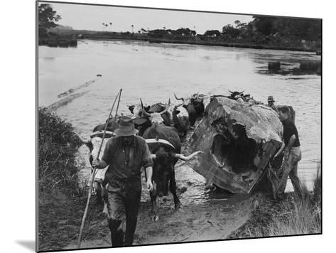 Bullock Team Hauling a Kauri Log Out of a River--Mounted Photographic Print