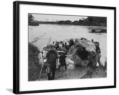 Bullock Team Hauling a Kauri Log Out of a River--Framed Art Print