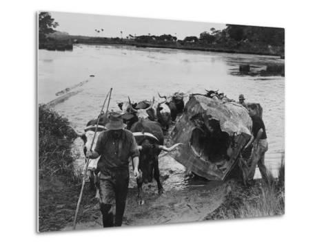 Bullock Team Hauling a Kauri Log Out of a River--Metal Print