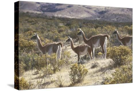 Guanaco--Stretched Canvas Print
