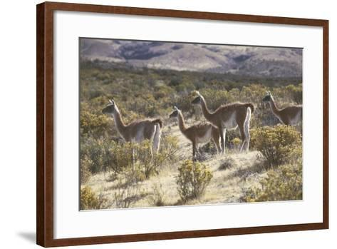 Guanaco--Framed Art Print