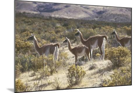 Guanaco--Mounted Photographic Print