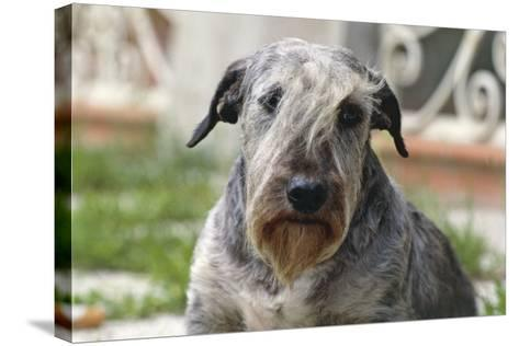 Cesky Terrier Dog--Stretched Canvas Print