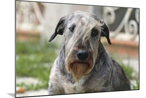 Cesky Terrier Dog--Mounted Photographic Print