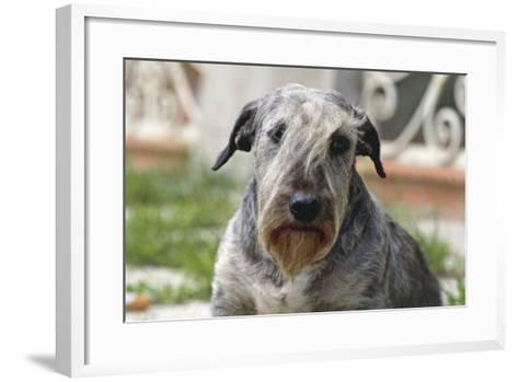 Cesky Terrier Dog--Framed Art Print