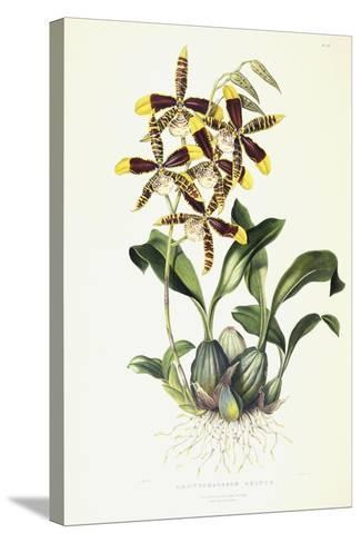 Odontoglossom Grande, C.1837-1843-Sarah Ann Drake-Stretched Canvas Print
