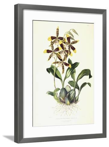 Odontoglossom Grande, C.1837-1843-Sarah Ann Drake-Framed Art Print