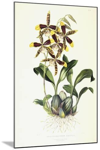 Odontoglossom Grande, C.1837-1843-Sarah Ann Drake-Mounted Giclee Print