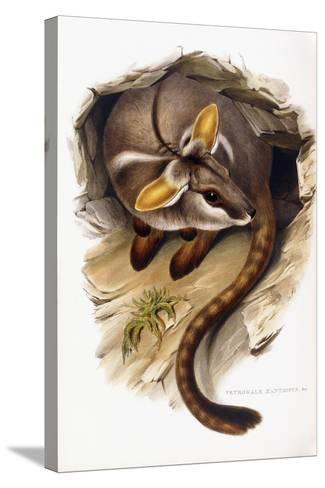 Petrogale Xanthopus--Stretched Canvas Print