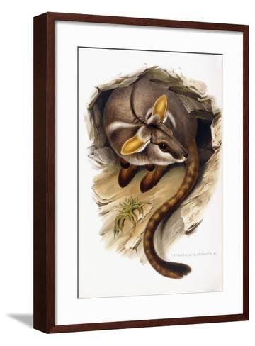 Petrogale Xanthopus--Framed Art Print