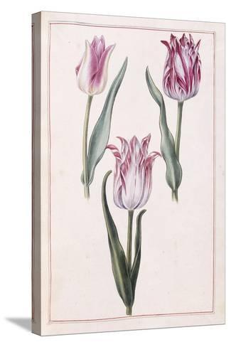 Tulips, 18th Century--Stretched Canvas Print