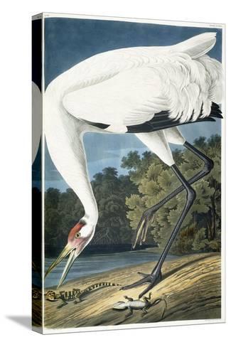 Whooping Crane, Adult Male, 1834-John James Audubon-Stretched Canvas Print