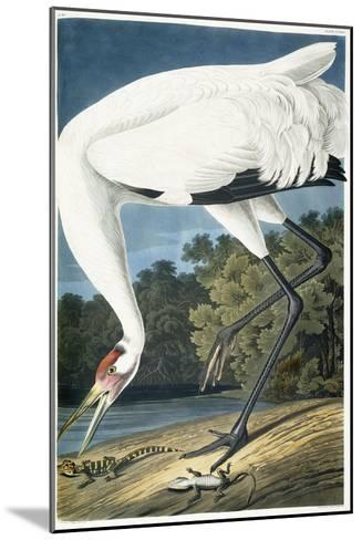 Whooping Crane, Adult Male, 1834-John James Audubon-Mounted Giclee Print