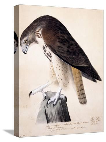 American Buzzard or White Breasted Hawk-John James Audubon-Stretched Canvas Print