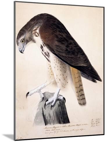 American Buzzard or White Breasted Hawk-John James Audubon-Mounted Giclee Print