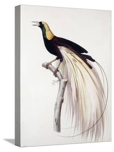Greater Bird of Paradise, Male-Jacques Barraband-Stretched Canvas Print