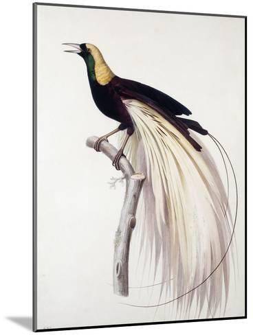 Greater Bird of Paradise, Male-Jacques Barraband-Mounted Giclee Print