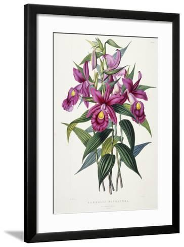 Sobralia Macrantha, C.1837-43-Sarah Ann Drake-Framed Art Print