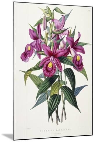 Sobralia Macrantha, C.1837-43-Sarah Ann Drake-Mounted Giclee Print