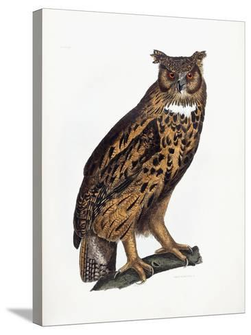 Great Eared Owl, 1841-Prideaux John Selby-Stretched Canvas Print