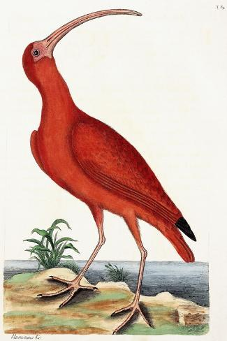 Curlew, Numenius, 1771-Mark Catesby-Stretched Canvas Print