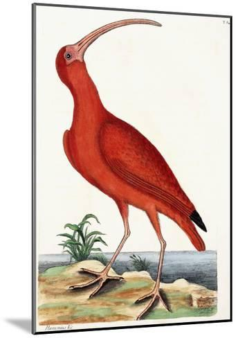 Curlew, Numenius, 1771-Mark Catesby-Mounted Giclee Print