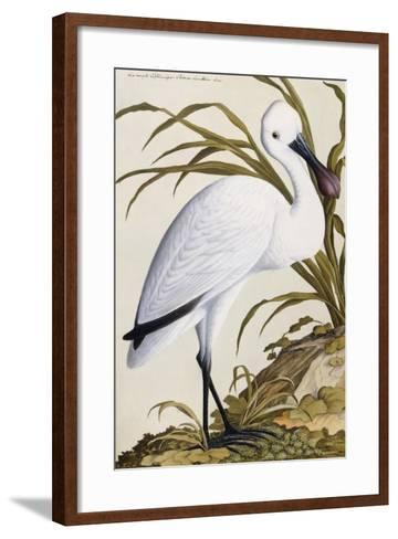White Spoon Bill, 1750-1800--Framed Art Print