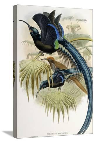 Great Sicklebilled Bird of Paradise--Stretched Canvas Print