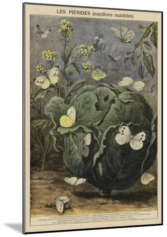 Pieridae--Mounted Giclee Print