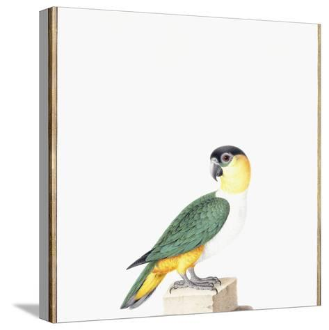 Black-Capped Parrot-Nicolas Robert-Stretched Canvas Print