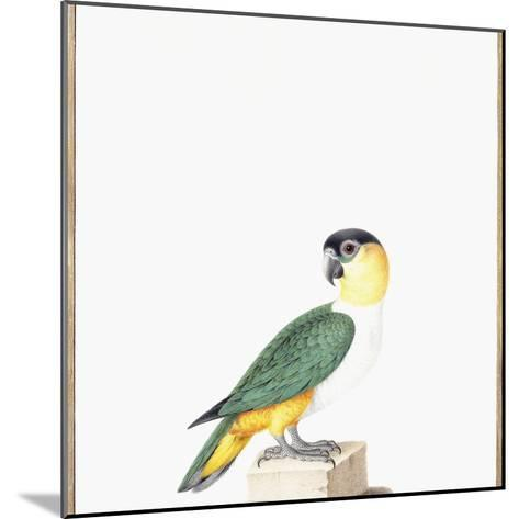 Black-Capped Parrot-Nicolas Robert-Mounted Giclee Print