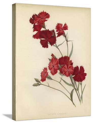 Dianthus Atkinsoni--Stretched Canvas Print