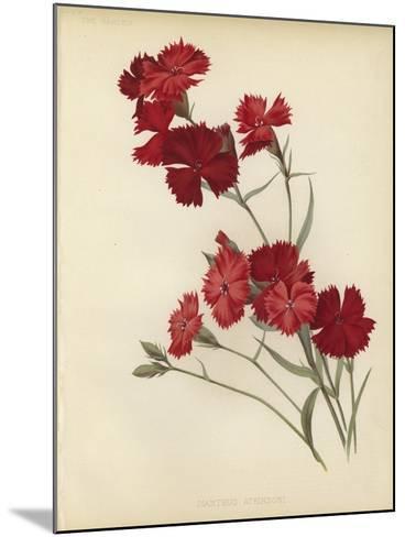 Dianthus Atkinsoni--Mounted Giclee Print