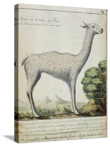 Sheep of Peru--Stretched Canvas Print