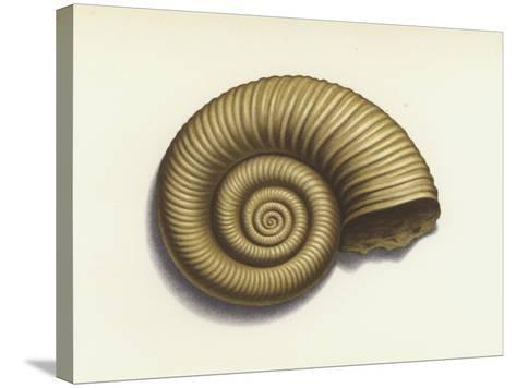 Ammonite--Stretched Canvas Print