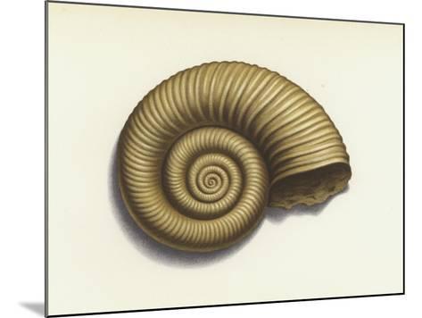 Ammonite--Mounted Giclee Print