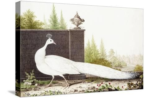 White Peacock-Nicolas Robert-Stretched Canvas Print