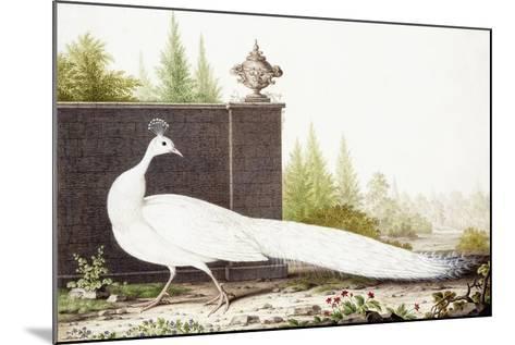 White Peacock-Nicolas Robert-Mounted Giclee Print
