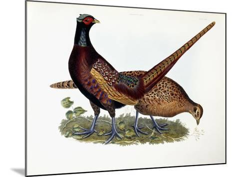 Pheasants-Prideaux John Selby-Mounted Giclee Print