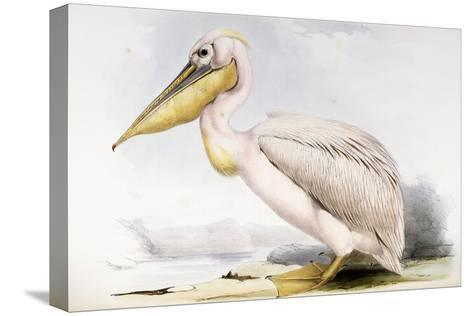 Great White Pelican-Edward Lear-Stretched Canvas Print