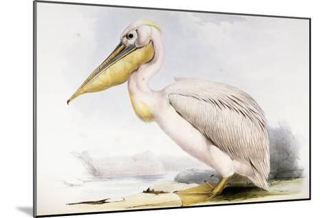 Great White Pelican-Edward Lear-Mounted Giclee Print