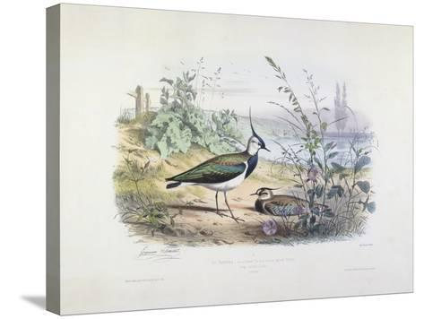 Female and Male Lapwing-Edouard Travies-Stretched Canvas Print